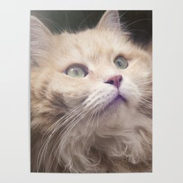 Portrait of an adult Siberian cat. Poster