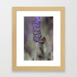 Bee on Lavender Framed Art Print