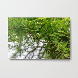 Conifer Branches Metal Print