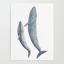 Blue whales (Balaenoptera musculus) - Blue whale Poster