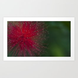 Red Calliandra flower. Art Print