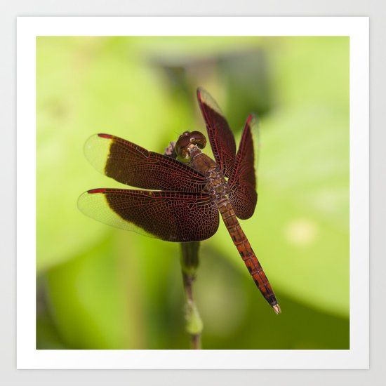 Macro photograph of a Dragonfly on a Leaf  Art Print