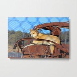 Australian Dingo Metal Print