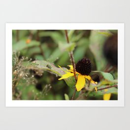 Black eyed Susan remains Art Print
