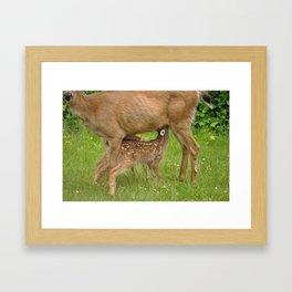 Mom Deer (Columbian Black-tailed deer) nursing bambi's 3 Framed Art Print