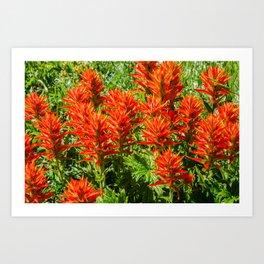 Orange Indian Paintbrush (Castilleja) Growing Wild Art Print