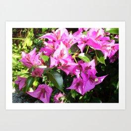 Purple Pink Bougainvillia In Blossom  Art Print