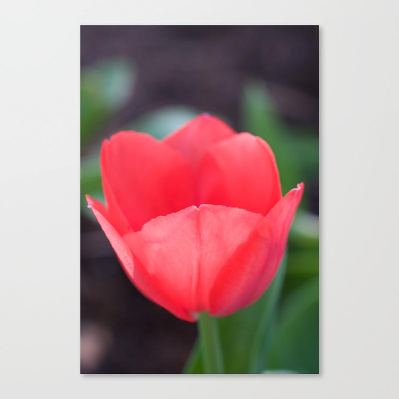 Tulip Cup Canvas Print by Scubaprincess CNV8988335