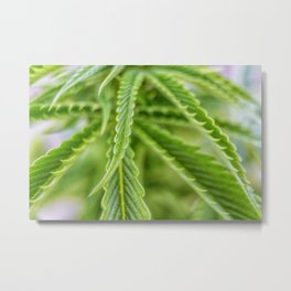 Weed Love 420 Marijuana plant photograph Metal Print