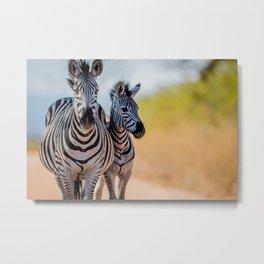 Bonding Zebras Metal Print