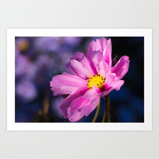 cosmea flower Art Print