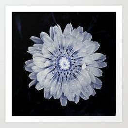 Carolina Chickory Art Print
