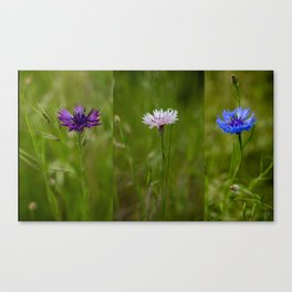 Cornflowers, One Purple, One Pink and One Blue Canvas Print