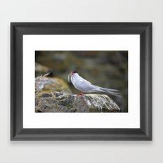 Tern with Sand Eel, Inner Farne Island, Northumberland Framed Art Print