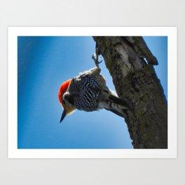 Red-bellied Woodpecker Overhead Art Print