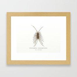 Scutigera coleptrata (House Centipede) Framed Art Print