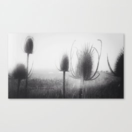 Wild Teasel Canvas Print