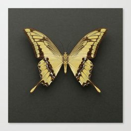 King Swallowtail Butterfly Canvas Print