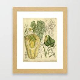 Sechium edule, Cucurbitaceae Framed Art Print
