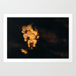 Yellow Spotted Phalaenopsis Orchids Art Print