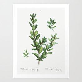 Buxus sempervirens from Traité des Arbres et Arbustes que l'on cultive en France en pleine terre (18 Art Print
