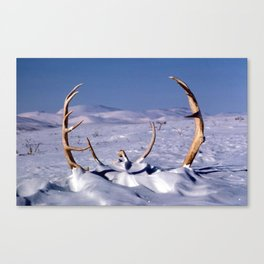 Caribou Antlers in The Snow Canvas Print