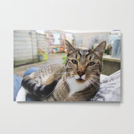 Cat laying on lap. Metal Print