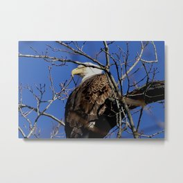 Mason Neck eagle landing Metal Print
