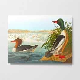 Goosander or Common Merganser Metal Print