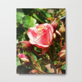 Natural Beauty • Point Defiance Rose Gardens • Tacoma, WA Metal Print