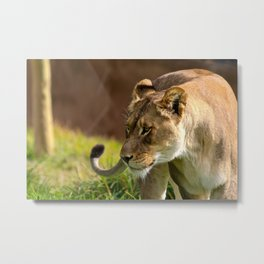 Lioness Is Hungry  Metal Print