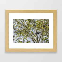 Belted Kingfisher in Flight, No. 1 Framed Art Print