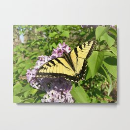 Butterfly on a lilac bush Metal Print