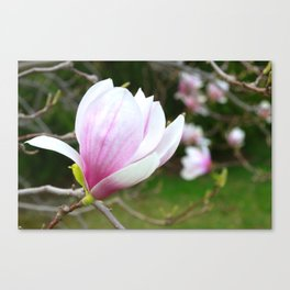 Sweet Magnolia In Springtime Canvas Print