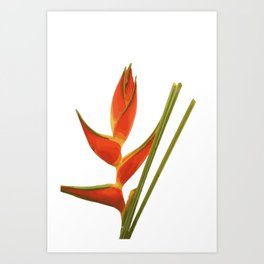 Heliconias Flower orange Art Print