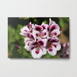 Purple Geraniums Flowers Metal Print