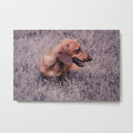 UV Color Photo Dog Dachshund Closeup on Nature Metal Print