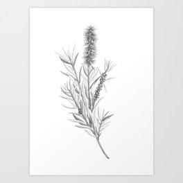 Callistemon Citrinus (Bottlebrush) Botanical Illustration Art Print