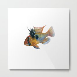Blue Ram Dwarf Cichlid Male Aquarium Fish Metal Print