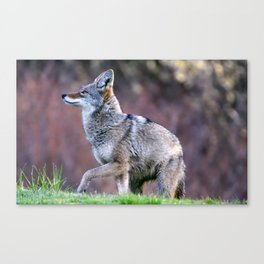 Wild coyote on the hunt Canvas Print