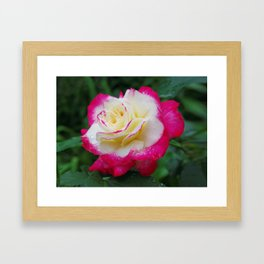 Double Delight Rose - Red and cream beauty Framed Art Print