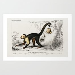 White-headed capuchin (Cebus Hypoleucus) illustrated by Charles Dessalines D' Orbigny (1806-1876). Art Print