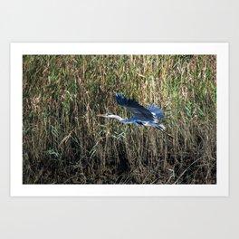 grey heron in flight ( Japan ) Art Print