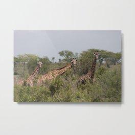 Giraffes Grazing in Tanzania Landscape Metal Print