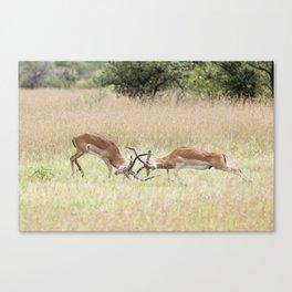 Fighting Impala on The Serengeti Canvas Print