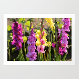 Multi-Colored Gladiolus Art Print