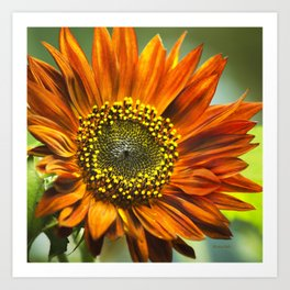 Orange Sunflower Art Print