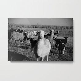 Lambs (bw) Metal Print