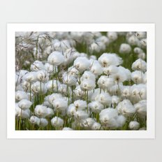 Cotton grass Art Print