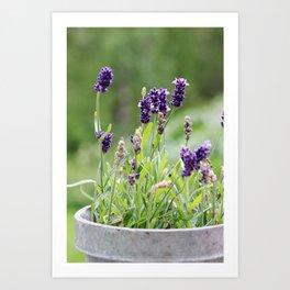 Lavender flower in tin pot Art Print